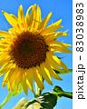 向日葵と秋桜の咲く花ひろば 83038983