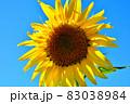 向日葵と秋桜の咲く花ひろば 83038984