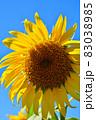 向日葵と秋桜の咲く花ひろば 83038985