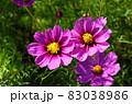 向日葵と秋桜の咲く花ひろば 83038986