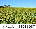 向日葵と秋桜の咲く花ひろば 83038987