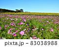 向日葵と秋桜の咲く花ひろば 83038988