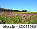 向日葵と秋桜の咲く花ひろば 83038989