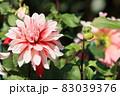 ダリア ダリアの花 83039376