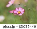 コスモス ピンクのコスモス 秋桜 83039449