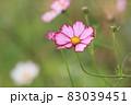 コスモス ピンクのコスモス 秋桜 83039451