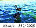 茨城県水戸市 千波湖のコクチョウ2−1 83042025