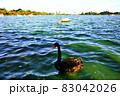 茨城県水戸市 千波湖のコクチョウ1−2 83042026