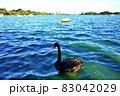 茨城県水戸市 千波湖のコクチョウ1−1 83042029