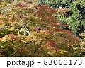 夕陽を受ける色付きかけた紅葉の木 83060173