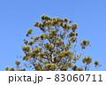 青空に聳える杉の大木 83060711