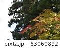 夕陽を受けて輝く色付きかけたモミジの葉と杉の大木 83060892