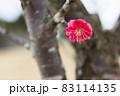 紅色の梅の花をクローズアップ 83114135