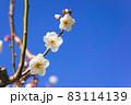 満開になった白梅の花のクローズアップ 83114139
