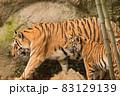 竹林を出るアムールトラの母と警戒する子 83129139