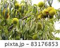 若い実を付けた栗の木 83176853