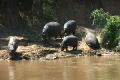 马赛马拉国家保护区 肯尼亚 河马 1449713