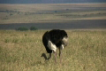 马赛马拉国家保护区 鸵鸟 肯尼亚 1449715