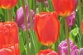 Tulip Garden 2613984