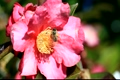 Camellias and honey bees 2790693