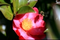 Camellias and honey bees 2790694