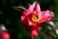 Camellias and honey bees 2790695