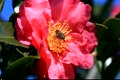 Camellias and honey bees 2790696