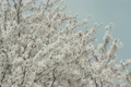 yoshino cherry tree, cherry blossom, cherry tree 2802657