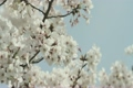 yoshino cherry tree, cherry blossom, cherry tree 2802659