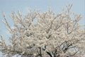 yoshino cherry tree, cherry blossom, cherry tree 2802662