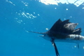 Sailfish Underwater Close Up 3049256