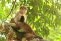 White-fronted Capuchin Monkey (Cebus albifrons) 3796886