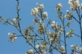 Cherry Blossoms 4136728