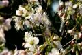 Cherry Blossoms 4136734