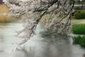 雨の桜と池 4720145