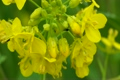 菜の花で雨宿りする虫たち 4756824