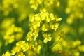 菜の花 4757368