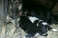 puppies sucking milk from a mother dog 5469041