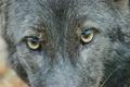 Rare Black Coyote 6245264
