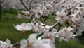 揺れる 桜の枝先とサクラの花びらアップ 6732217