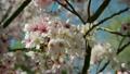 ฤดูใบไม้ผลิ,ดอกไม้,ดอกซากุระบาน 6817085