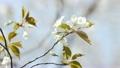Cherry Blossom 6920127