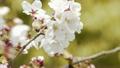 Cherry Blossom 6920134