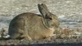 Cottontail Rabbit 6970191