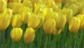 黄色いチューリップ 7056067