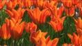 オレンジ色のチューリップ 7056068