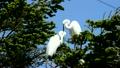 鳥 白鷺 サギの動画 7641712