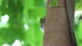 クマゼミ 鳴いて求愛するオス 1匹| 夏イメージ 木漏れ日背景 7851141