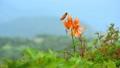 夏の伊吹山山頂のコオニユリと青空のコピースペース 7948421