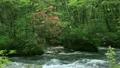 ツツジ咲く奥入瀬渓流 8051076